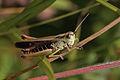 Meadow grasshopper (Chorthippus parallelus) male.jpg