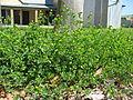 Medicago lupulina plant3 (10589492153).jpg