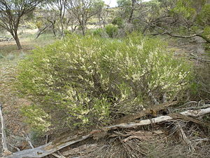 Melaleuca acuminata - Melaleuca acuminata in the Kalgarin Nature Reserve near Corrigin.