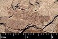 Mesocupes (Cainomerga) ponti holotype MNHN.F.A51116 counterpart side direct lighting.jpg