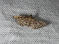Metasia capnochroa (42627491332).jpg