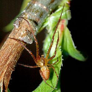 Herbstspinne (Metellina mengei)