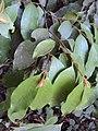 Meteoromyrtus wynaadensis 23.JPG