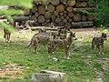 Meute loups alpha.jpg