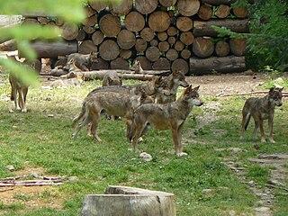Loup, analyse d'Esope dans LOUP 320px-Meute_loups_alpha