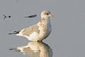 Mew Gull, Morro Strand, California.jpg