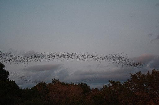 Mexican free-tailed bats exiting Bracken Bat Cave (8006830835)