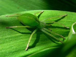 Grüne Huschspinne (Micrommata virescens), Weibchen