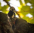 Middle spotted woodpecker (22776875176).jpg