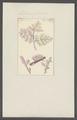 Millepora fucorum - - Print - Iconographia Zoologica - Special Collections University of Amsterdam - UBAINV0274 111 07 0016.tif