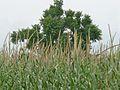 Millet plants.jpg