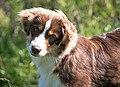 Miniature-american-shepherd-eyes-brown.jpg