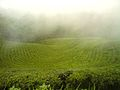 Mist Valley Tea Estate.jpg