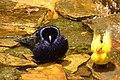 Molothrus bonariensis (Chamón parásito) (15459667251).jpg