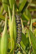 Monarch Butterfly Danaus plexippus Vertical Caterpillar 2000px.jpg