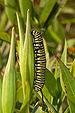 Monarch Butterfly Danaus plexippus Vertical Caterpillar 2000px.jpg