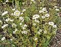 Monardella hypoleuca ssp lanata 1.jpg