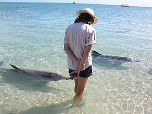 Monkey Mia - The daily feeding of bottlenose dolphins