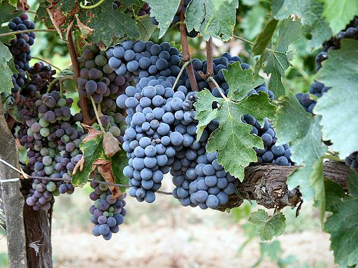 Sangiovese grapes in a vineyard of Montalcino