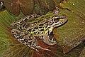 Montane leopard frog (Lithobates taylori) 3.jpg