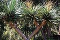 Monte (Funchal) - Dracaena draco (Kanarischer Drachenbaum) IMG 2053.JPG