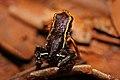 Monte Iberia Dwarf Frog (Eleutherodactylus Iberia) (8571333021).jpg