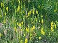 Moorlilien Südheide.jpg