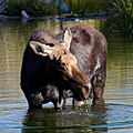 Moose in Grand Teton National Park 5 (8045137631).jpg