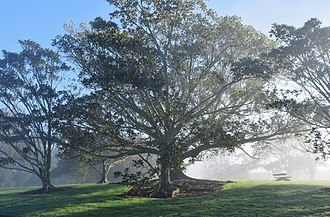 Sunnyhills - Moreton Bay fig tree in a public park in Sunnyhills Auckland New Zealand on a foggy morning