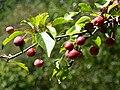 Morgan Arboretum fruits.JPG