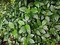 Morinda citrifolia 13.jpg