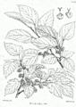 Morus alba Bra47.png