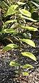 Morus nigra Kampong Sweet 4zz.jpg