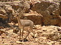Mountain Gazelle.jpg