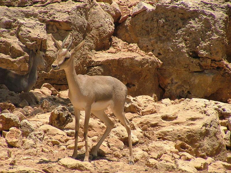 File:Mountain Gazelle.jpg