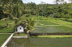 Muncan Bali Indonesia Rice-paddy-along-Jalan-Raya-Muncan-01.jpg
