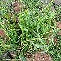 Murdannia Nudiflora 01.jpg