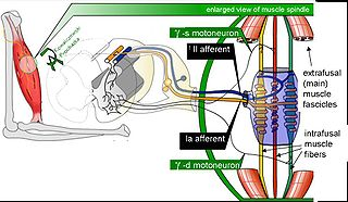 Muscle spindle Innervated muscle structure involved in reflex actions and proprioception