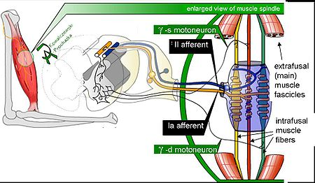 Muscle spindle model.jpg