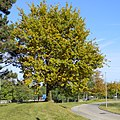 My fave tree, d'Coque, Kirchberg, Lux - panoramio.jpg