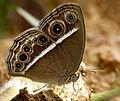Mycalesis 3 by Kadavoor-2.jpg
