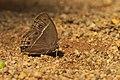Mycalesis perseus on Kadavoor.jpg