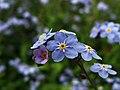 Myosotis sp. - Real Jardin Botanico de Madrid (12366659665).jpg
