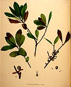 Myrica pensylvanica illustration (02).jpg
