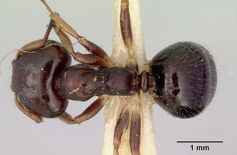File:Myrmecorhynchus emeryi casent0172032 dorsal 1.jpg