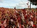 Myrtillier sauvage à l'automne.jpg