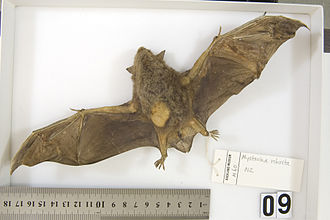New Zealand greater short-tailed bat - Specimen held at Auckland Museum