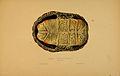 N166 Sowerby & Lear 1872 (malaclemys terrapin).jpg