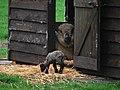 NL-ZH - Lisse - Sheep - Chordata - Ovis - Bovidae - Artiodactyla (4890171689).jpg