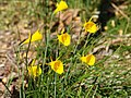 Narcissus bulbocodium Golden Bells Group.jpg